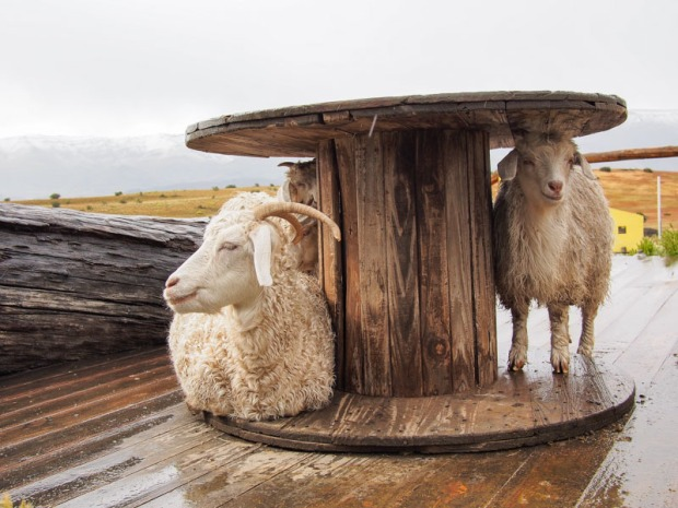 Sheep hiding from rain
