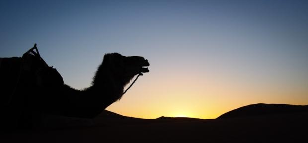 Camel silhouette. Goofy guy!