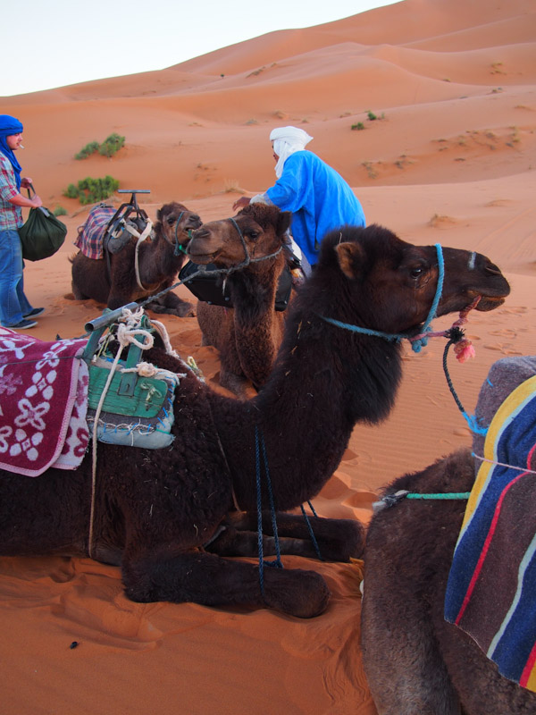 """See the camel up in front - that is my camel, he needed """"parking brake"""" ropes to keep him from getting up and being feisty."""