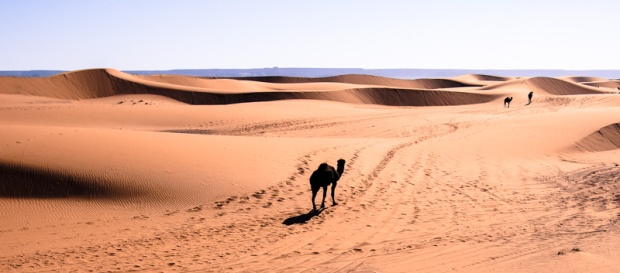 Camels going off into the distance