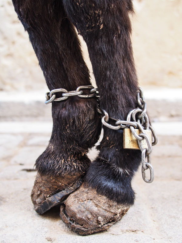 Donkey with padlock on feet